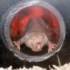 なぜハダカデバネズミは10倍も長寿なのか