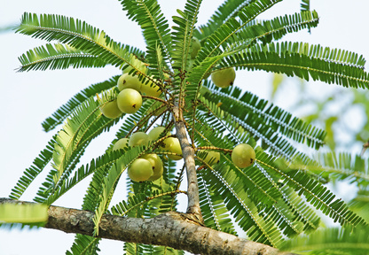 Fruits of Indian gooseberry (Phyllanthus emblica) in tree. Also called aamla in Hindi. Indian gooseberry is an essential ingredient of traditional Indian Ayurvedic (herbal) medicines.
