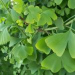 イチョウの葉は寿命をのばすか?